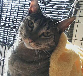Domestic Shorthair Cat for adoption in Orange City, Florida - Ritz