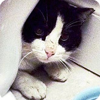 Domestic Shorthair Cat for adoption in Toronto, Ontario - Lance