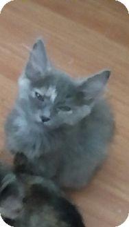 Domestic Mediumhair Kitten for adoption in temecula, California - lovie