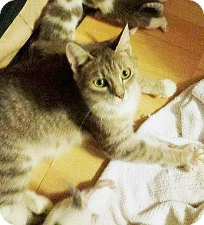 Domestic Shorthair Cat for adoption in Putnam, Connecticut - Momma Hera
