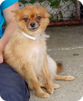 Pomeranian Dog for adoption in Ridgefield, Connecticut - Sterling