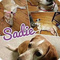 Adopt A Pet :: Sadie - bridgeport, CT