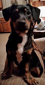 Dachshund Mix Puppy for adoption in Sumter, South Carolina - Jason