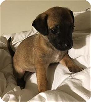 Chihuahua Mix Puppy for adoption in Encino, California - Raven - Christine Pup