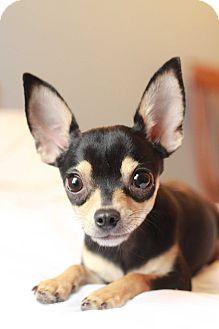 Chihuahua Dog for adoption in Romeoville, Illinois - *ADOPTION PENDING* Morgan