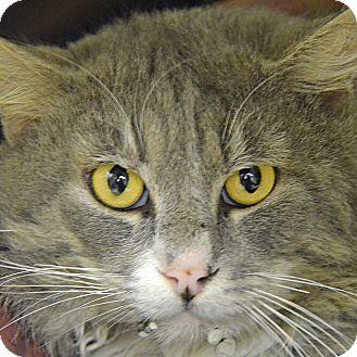 Domestic Mediumhair Cat for adoption in Brooksville, Florida - CHARLSTON
