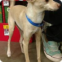 Chihuahua Mix Dog for adoption in Mesa, Arizona - Sparky