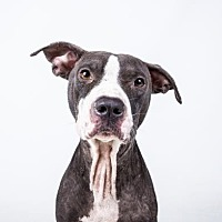 Adopt A Pet :: Thatcher - Decatur, GA