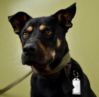 Shepherd (Unknown Type)/Rottweiler Mix Dog for adoption in West Allis, Wisconsin - Axyl