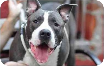 American Pit Bull Terrier Mix Dog for adoption in New Rochelle, New York - Blue