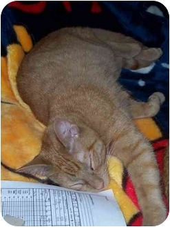 Domestic Shorthair Cat for adoption in Davis, California - Spanky