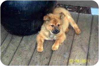 Sheltie, Shetland Sheepdog/Chow Chow Mix Puppy for adoption in Southport, North Carolina - Teddy Bear 2 - Kensie