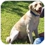 Photo 2 - Labrador Retriever Dog for adoption in Houston, Texas - SEYMOUR