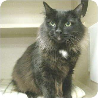 Domestic Longhair Cat for adoption in Mesa, Arizona - Abbey