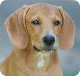 Redbone Coonhound Mix Dog for adoption in Wakefield, Rhode Island - Keegan