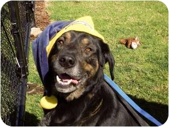 Rottweiler/Flat-Coated Retriever Mix Dog for adoption in El Cajon, California - Duke