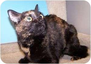 Domestic Shorthair Cat for adoption in Colorado Springs, Colorado - Tortelini