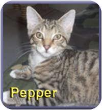 Domestic Shorthair Kitten for adoption in Aldie, Virginia - Pepper