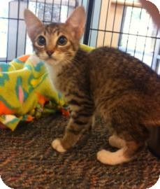 Domestic Shorthair Kitten for adoption in Columbus, Georgia - Grommet 5D45