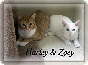 Domestic Shorthair Cat for adoption in Cannelton, Indiana - Zoey