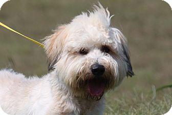 Havanese/Tibetan Terrier Mix Dog for adoption in McKinney, Texas - Mahan