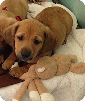 Dachshund/Chihuahua Mix Puppy for adoption in South Haven, Michigan - Kerry