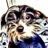Adopt A Pet :: Petie-PA - Emmaus, PA