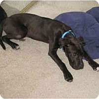Adopt A Pet :: Winston - Reisterstown, MD