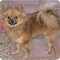 Adopt A Pet :: Chanel - Scottsdale, AZ