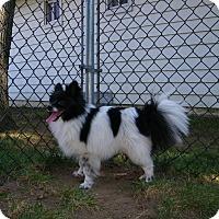 Adopt A Pet :: Nico - Mt Gretna, PA