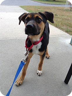 Shepherd (Unknown Type)/Labrador Retriever Mix Puppy for adoption in New Milford, Connecticut - Jeff