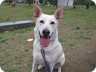 Labrador Retriever/Shepherd (Unknown Type) Mix Dog for adoption in orange, California - Noah