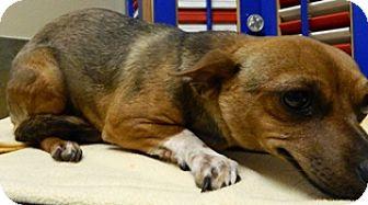 Chihuahua Mix Dog for adoption in Columbus, Nebraska - Abe