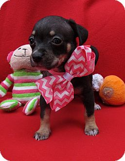 Chihuahua/Miniature Pinscher Mix Puppy for adoption in Irvine, California - Dancer