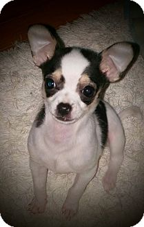 Chihuahua Mix Puppy for adoption in Anderson, South Carolina - MooMoo