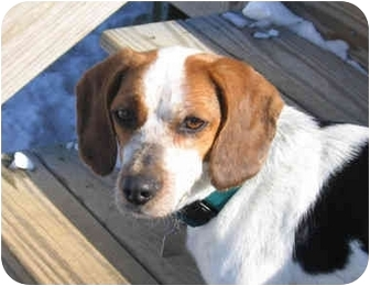 Beagle Mix Dog for adoption in Blairstown, New Jersey - Libby