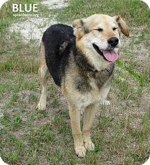 Shepherd (Unknown Type) Mix Dog for adoption in Elizabeth City, North Carolina - Blue
