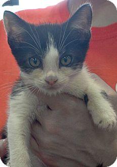 Domestic Shorthair Kitten for adoption in Reston, Virginia - Jim