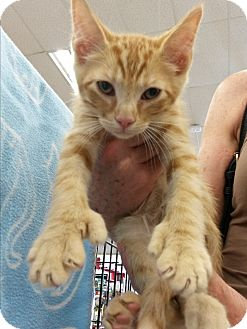 American Shorthair Kitten for adoption in Monrovia, California - Hitch