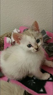 American Shorthair Kitten for adoption in Nuevo, California - Snowball