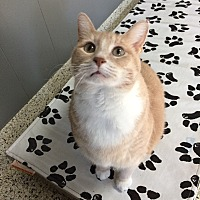 Domestic Shorthair Cat for adoption in St. Louis, Missouri - Winifred