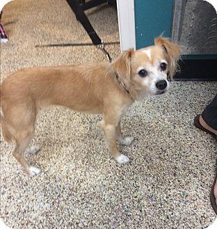 Italian Greyhound/Papillon Mix Dog for adoption in Thousand Oaks, California - Lulu