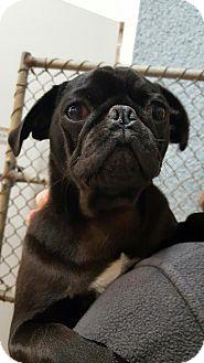 Pug Dog for adoption in Ashburn, Virginia - Dude