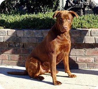 Labrador Retriever/Rottweiler Mix Dog for adoption in Lathrop, California - Sammy