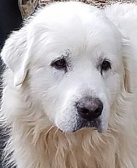 Great Pyrenees Dog for adoption in Newnan, Georgia - Tucker