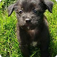 Adopt A Pet :: Gizmo-adoption pending - Schaumburg, IL