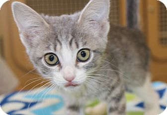 Domestic Shorthair Kitten for adoption in Las Vegas, Nevada - DARLA