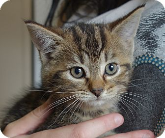 Domestic Shorthair Cat for adoption in Greenfield, Indiana - Odessa