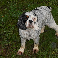 Cocker Spaniel Dog for adoption in Kannapolis, North Carolina - Sam 2