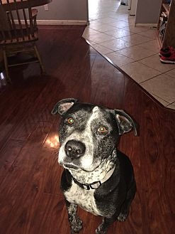 Pit Bull Terrier/Mixed Breed (Large) Mix Dog for adoption in Las Vegas, Nevada - Duke